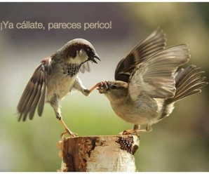 Pareces perico